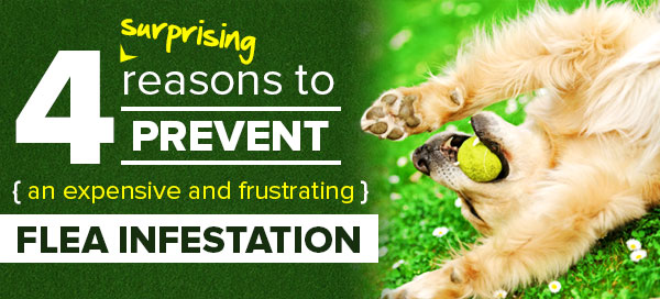 4 surprising reasons to prevent a flea infestation