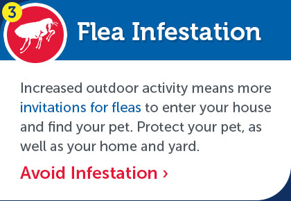 Flea Infestation