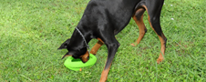 Durable 10-Inch Football Dog Toy at Pet Meds
